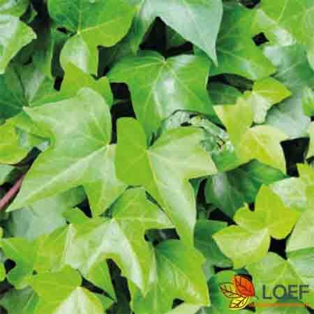 Hedera helix 'Green Ripple'