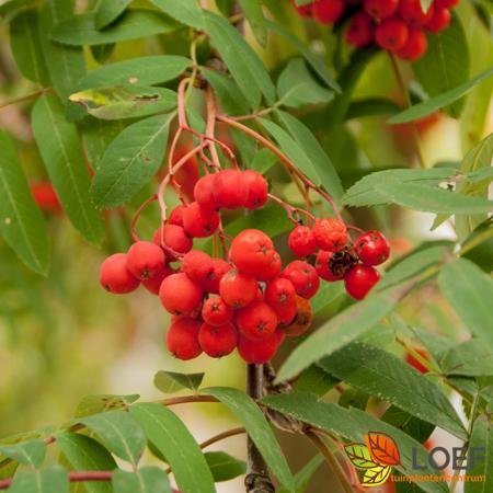Sorbus aucuparia 'Sheerwater Seedling'