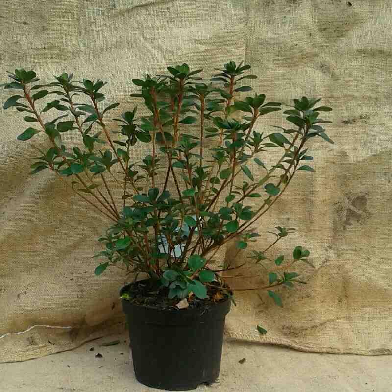 Rhododendron (AJ) 'Moederkensdag'