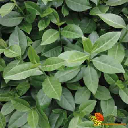 Euonymus fortunei 'Dart's Blanket'