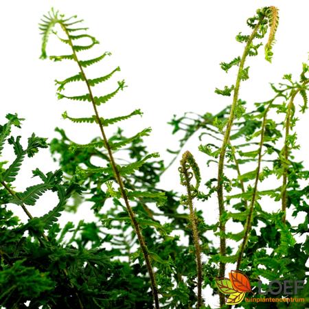 Dryopteris affinis 'Cristata The King'