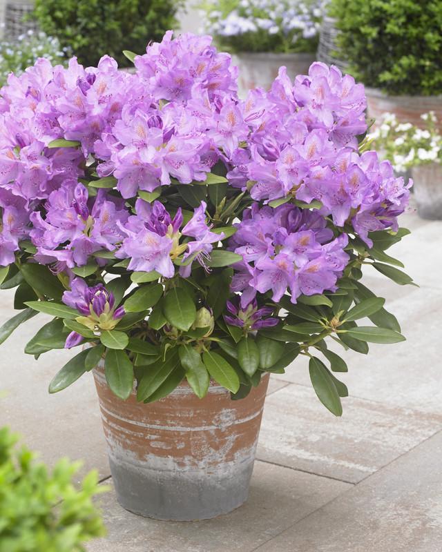 Rhododendron 'Catawb. Grandiflorum' | P13