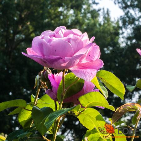 Rosa (T) 'Mary Rose'