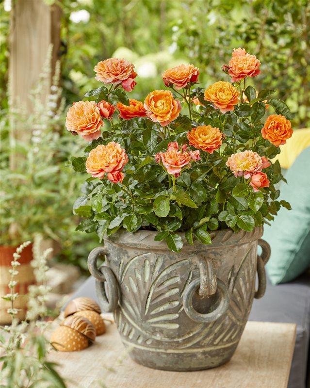 Rosa Incredible® Juicy | LC1.5