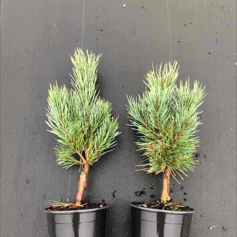 Pinus sylv. 'Watereri'   LC1.5