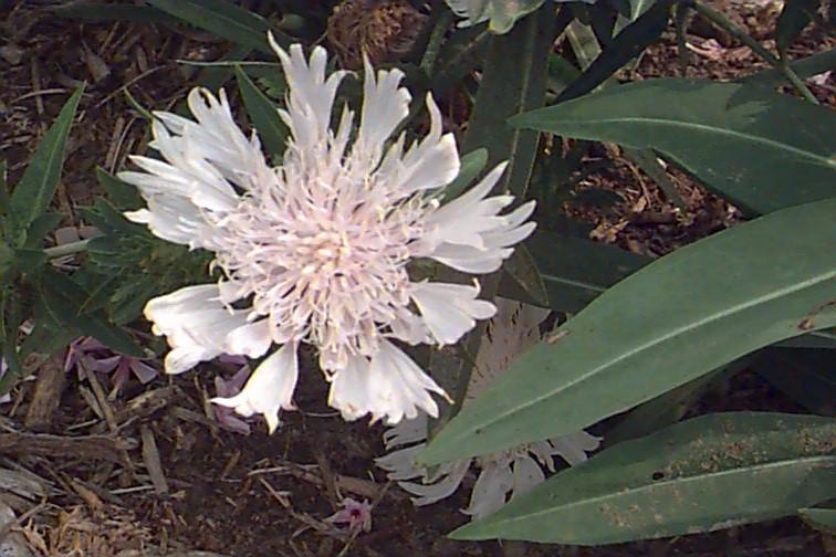 Stokesia laevis 'Alba'
