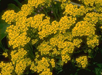Alyssum montanum 'Berggold'