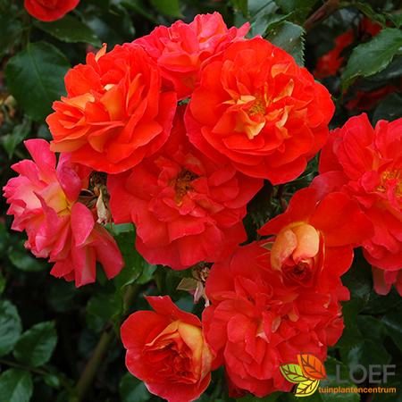 Rosa 'Gebrüder Grimm'