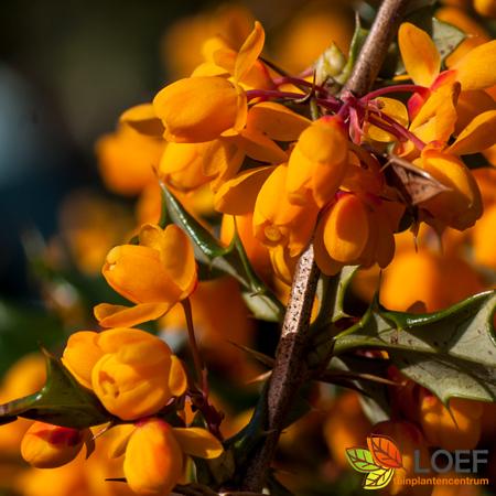 Berberis lologensis 'Apricot Queen'