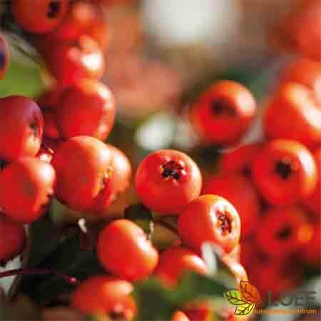 Pyracantha 'Dart's Red'
