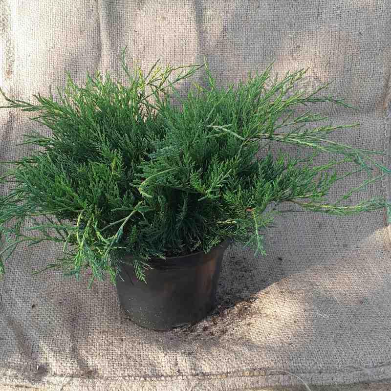 Juniperus pf. 'Old Gold'
