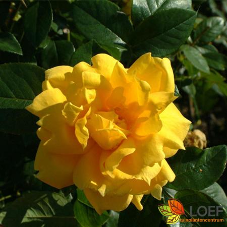 Rosa (T) 'Landora'