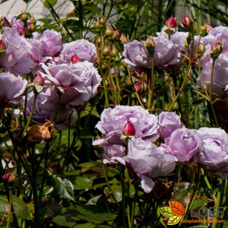 Rosa (F) 'Novalis'