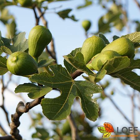 Ficus carica 'Brown Turkey'