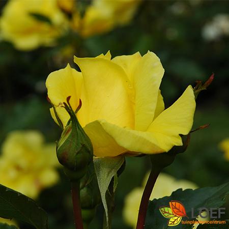 Rosa (F) 'Friesia'
