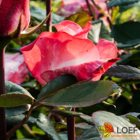 Rosa (T) 'Nostalgie'