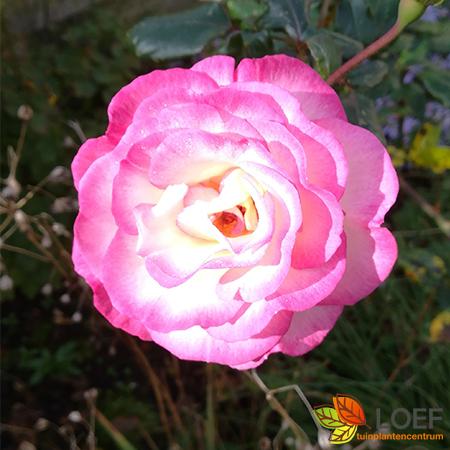 Rosa (K) 'Handel'