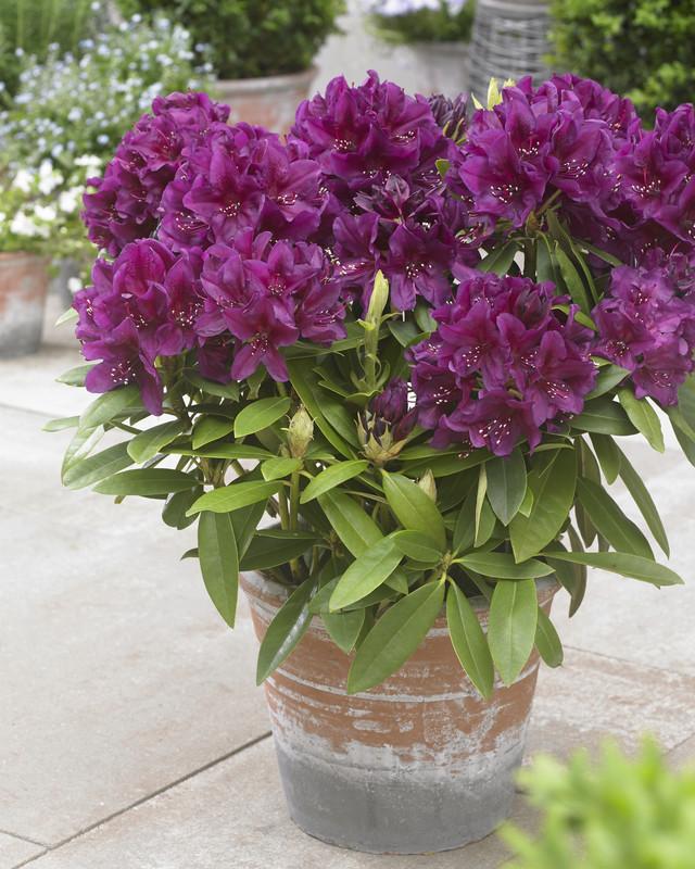 Rhododendron (P) 'Polarnacht'   LP13