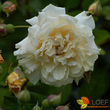 Rosa (H) 'Buff Beauty'